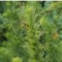 Eupatorium capillifolium (hemp agrimony)