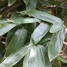 Sasa palmata (broad leaved bamboo)