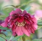 Helleborus x hybridus Harvington double red (Lenten rose hellebore)