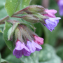 Pulmonaria saccharata 'Mrs Moon' (lungwort)