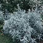 Artemisia ludoviciana 'Silver Queen' (western mugwort)