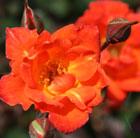 Rosa Warm Welcome ('Chewizz') (PBR) (rose Warm Welcome (climbing minature))