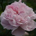 Rosa 'Fantin Latour' (rose Fantin Latour (centifolia hybrid))