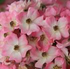 Rosa 'Ballerina' (rose Ballerina (polyantha shrub))