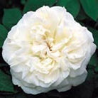 Rosa Winchester Cathedral (&#x27;Auscat&#x27;) (PBR) (rose Winchester Cathedral  (shrub))