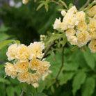 Rosa banksiae 'Lutea' (rose (rambler))