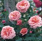 Rosa 'Aloha' (rose Aloha (climbing hybrid tea))