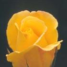 Rosa 'Golden Showers' (rose Golden Showers (climbing))