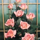 Rosa 'Compassion' (rose Compassion (climbing hybrid tea))