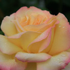 Rosa Peace ('Madame A. Meilland') (rose Peace (hybrid tea))