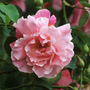 Rosa &#x27;Madame Gregoire Staechelin&#x27; (rose Madame Gregoire Staechelin (climbing hybrid tea))