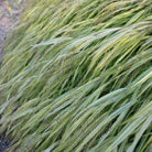 Hakonechloa macra &#x27;Alboaurea&#x27; (golden hakonechloa)