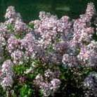 Syringa meyeri 'Palibin' (Korean Lilac)