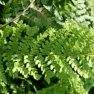Polystichum setiferum 'Plumosomultilobum' (soft shield fern (syn. Plumosum Densum))