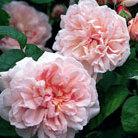 Rosa Eglantyne ('Ausmak') (PBR) (rose Eglantyne (shrub))