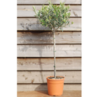 olive tree   (mini  1/2 standard )