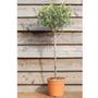 Olea europaea (olive tree   (mini 1/2 standard))