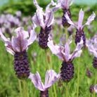 Lavandula Rocky Road ('Fair 09') (PBR) (French lavender)
