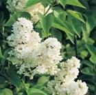 Syringa vulgaris 'Madame Lemoine' (common Lilac)