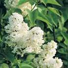 Syringa vulgaris 'Madame Lemoine' (common Lilac)