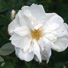 Rosa rugosa 'Alba' (rose (shrub))