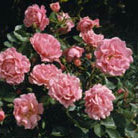 Rosa  Surrey ('Korlanum') (PBR) (rose Surrey (ground cover))