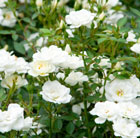 Rosa  Kent ('Poulcov') (PBR) (Towne & Country Series) (rose Kent (shrub/ground cover))