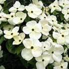 Cornus 'Eddie's White Wonder' (dogwood)