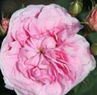 Rosa 'Konigin von D?nemark' (rose Queen of Denmark (shrub))