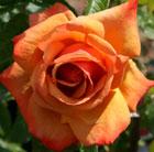 Rosa Remember Me ('Cocdestin') (PBR) (rose Remember Me (hybrid tea))