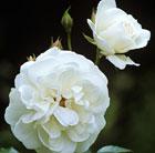 Rosa Margaret Merril ('Harkuly') (rose Margaret Merril (floribunda))