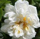 Rosa 'Alberic Barbier' (rose Alberic Barbier (rambler))