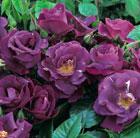 Rosa  Rhapsody in Blue ('Frantasia') (PBR) (rose Rhapsody in Blue (shrub))