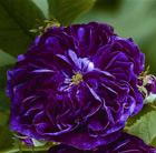 Rosa 'Charles de Mills' (rose Charles de Mills (gallica))