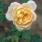Rosa 'Gloire de Dijon' (rose Gloire de Dijon (climbing hybrid tea))