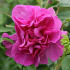 Rosa &#x27;Roseraie de l&#x27;Ha&#x27; (rose Roseraie de l&#x27;Ha (shrub))