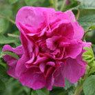 Rosa 'Roseraie de l'Ha?' (rose Roseraie de l'Ha? (shrub))