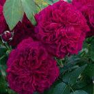 Rosa William Shakespeare ('Ausromeo') (PBR) (rose William Shakespeare (shrub))