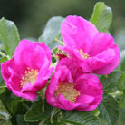 Rosa rugosa &#x27;Rubra&#x27; (rose (shrub))