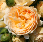 Rosa 'Happy Birthday' (rose Happy Birthday (patio))