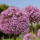Allium giganteum (giant ornamental onion)