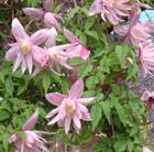 Clematis macropetala 'Markham's Pink' (clematis (group 1))