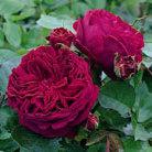 Rosa Falstaff ('Ausverse') (PBR) (rose Falstaff (shrub))