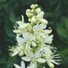 Dictamnus albus (burning bush)