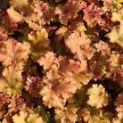 Heuchera 'Marmalade (PBR)' (coral bells)