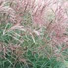 Miscanthus sinensis 'Kleine Silberspinne' (Chinese silver grass)