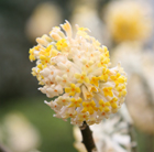 Edgeworthia chrysantha (paper bush)