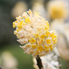 Edgeworthia chrysantha (paper bush)