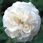 Rosa 'Boule de Neige' (rose Boule de Neige (bourbon))