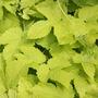 Humulus lupulus 'Aureus' (golden hop)